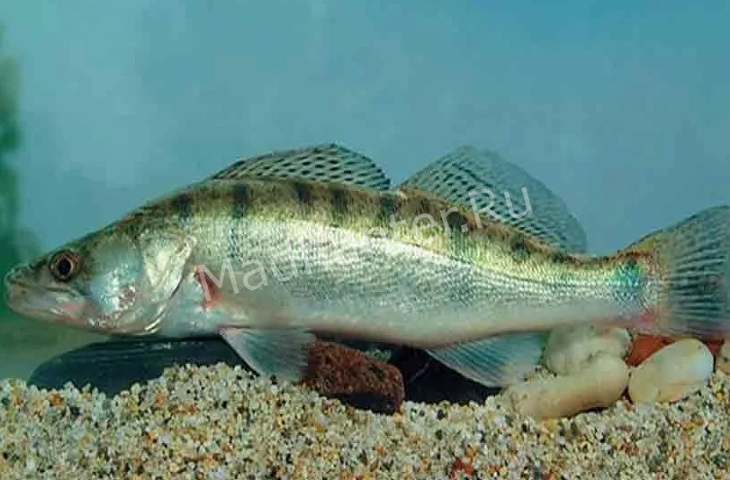 Судак рыба