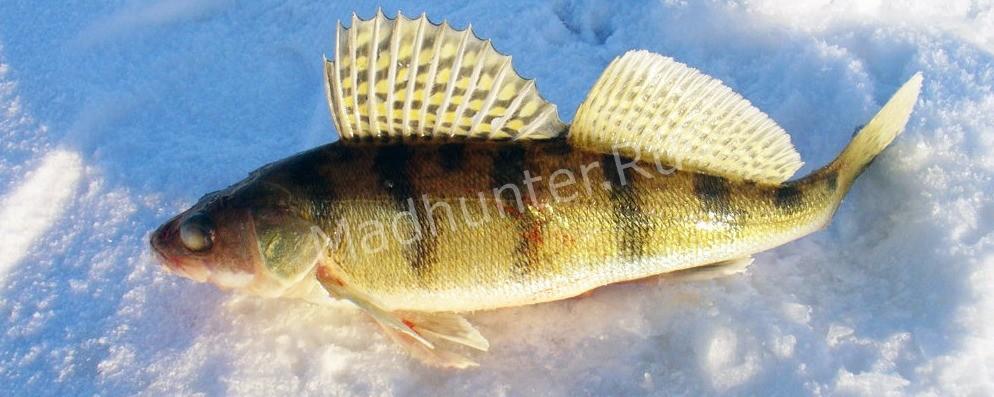 Берш рыба