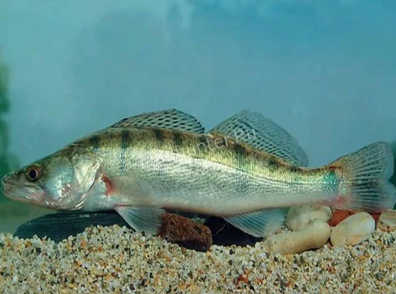 компьютера фото судака рыба смотреть требование, что есть
