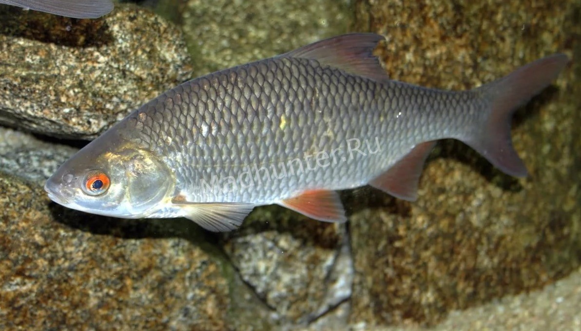 Плотва рыба