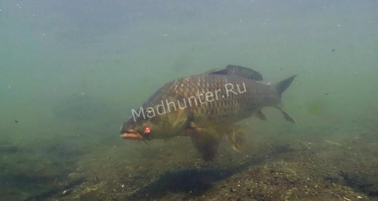 Сазан рыба