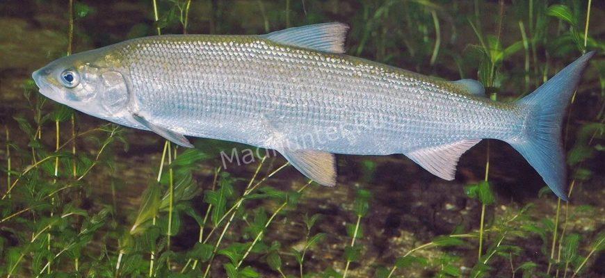 Сиг рыба
