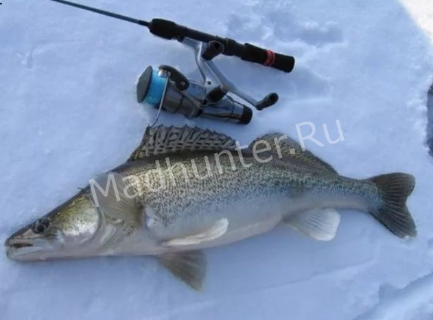 ловля рыбы Берш