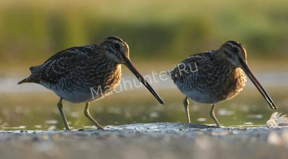 Птица Бекас популяция