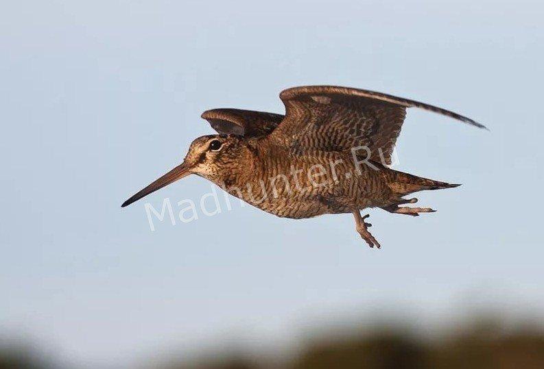 Птица Бекас в полёте