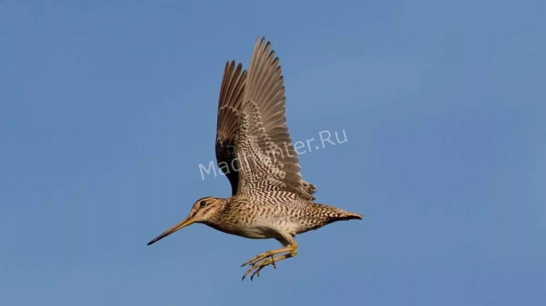 Птица Дупель в полёте