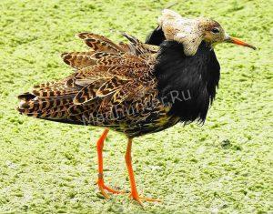 Птица Турухтан