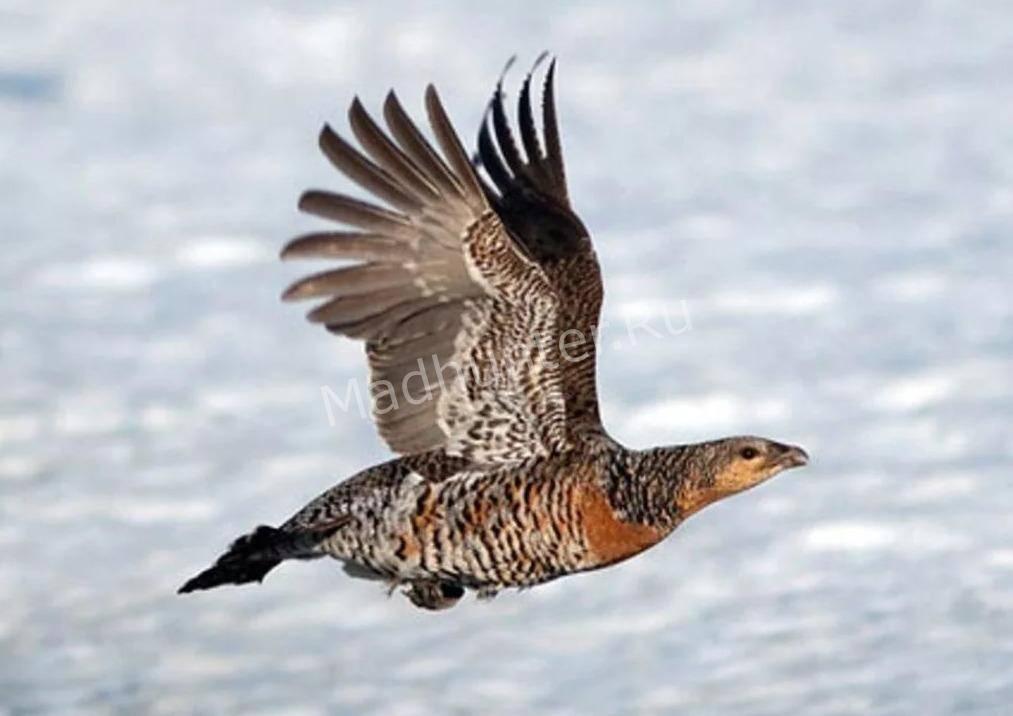 Птица глухарь полёт