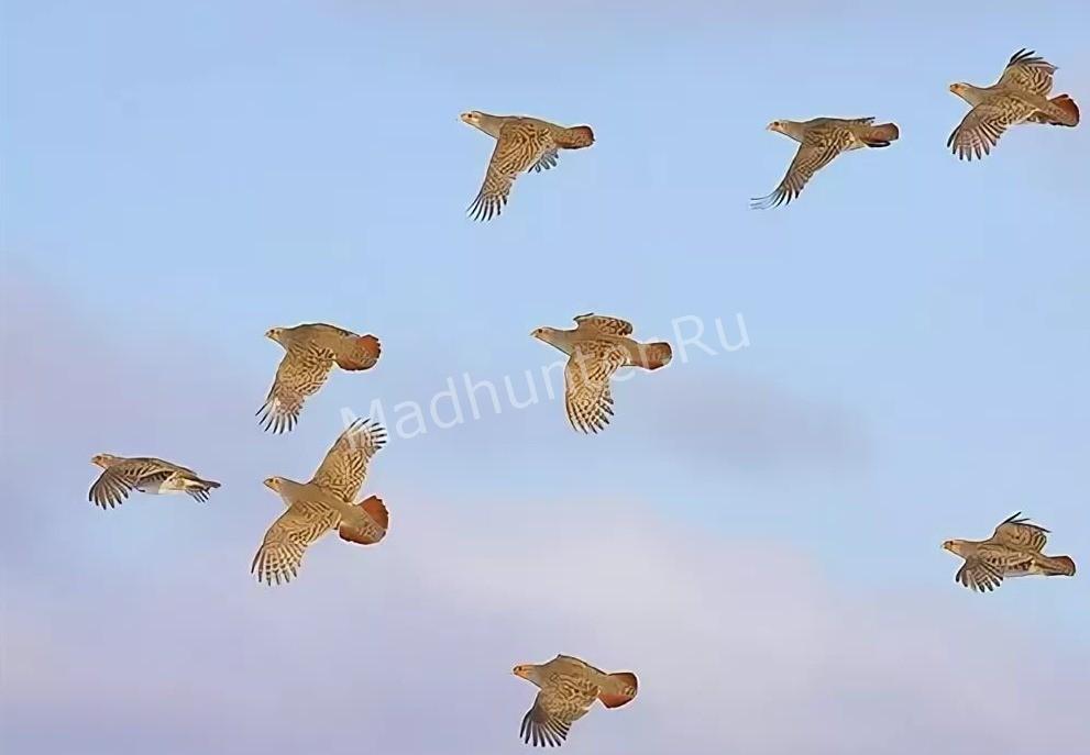Птица куропатка летит