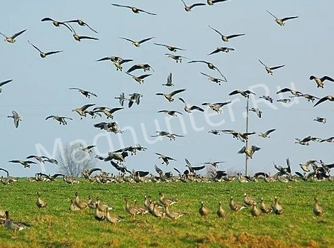 Птица вальдшнеп миграция