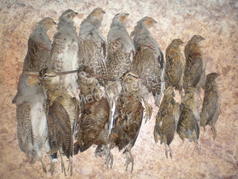 Птица вальдшнеп охота