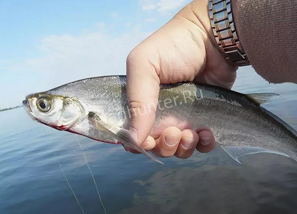 Рыба чехонь улов