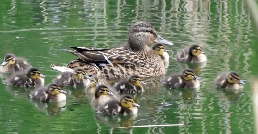 Дикая утка и потомство
