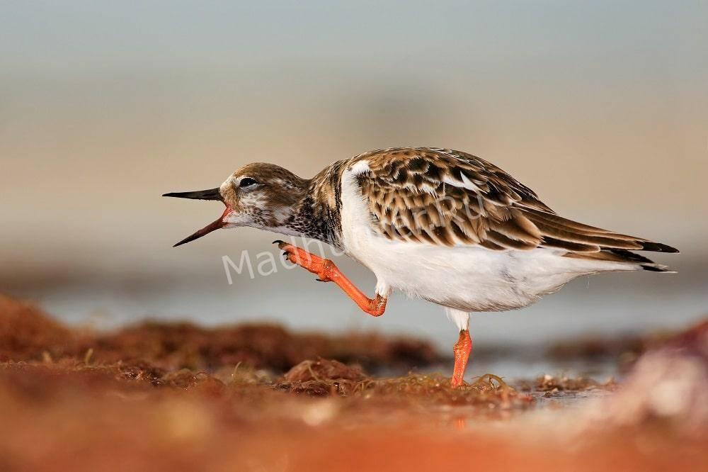 Как поёт птица камнешарка