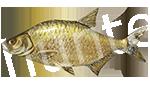 Прогноз клёва рыбы Лещ
