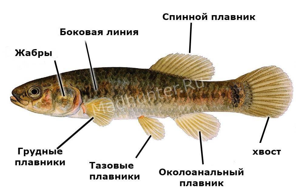 Описание рыбы умбра