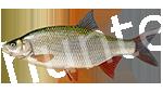 Прогноз клёва рыбы Плотва