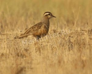 Птица Хрустан