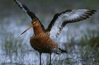 Птицы Веретенники