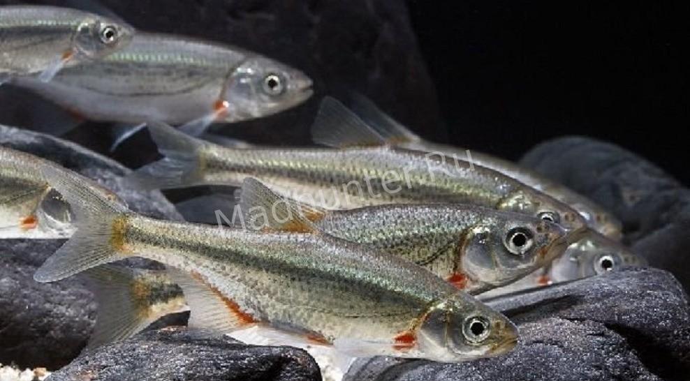 Рыба Быстрянка