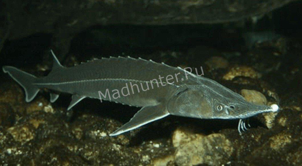 Рыба Стерлядь