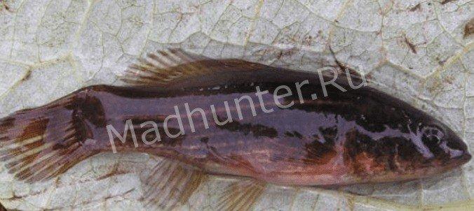 Рыба Умбра пойманая