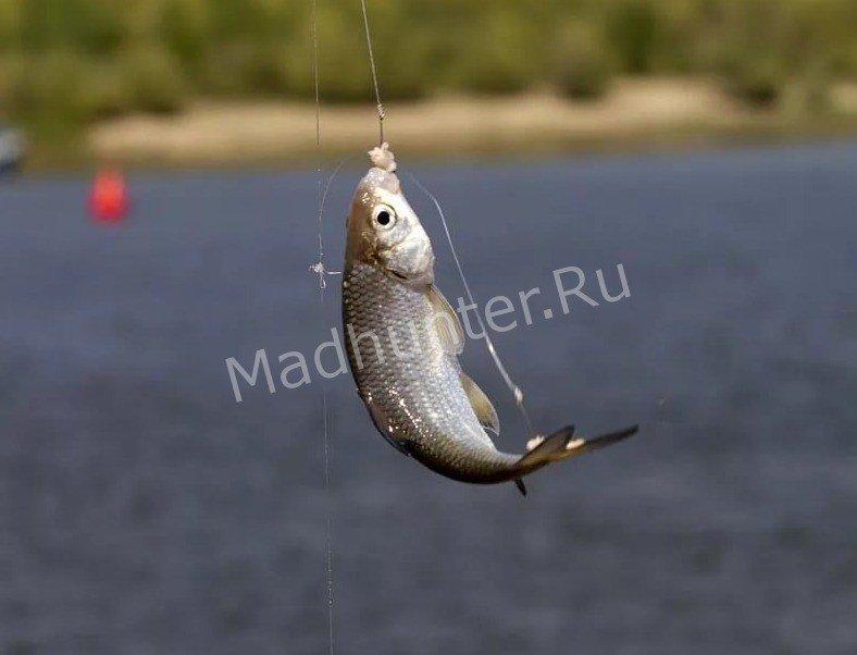 Рыба Вобла на крючке