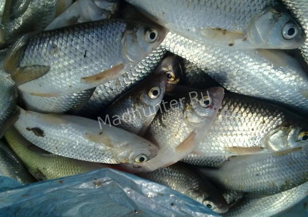 Рыба Вобла улов