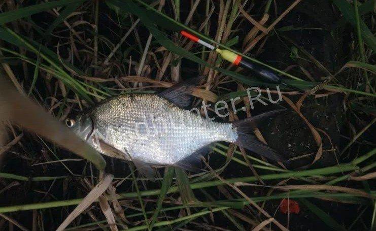 Рыба подлещик улов