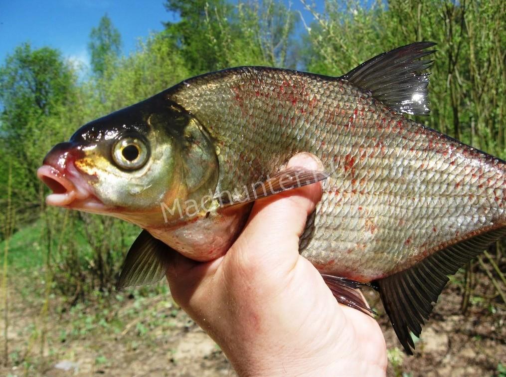 Рыба подлещик