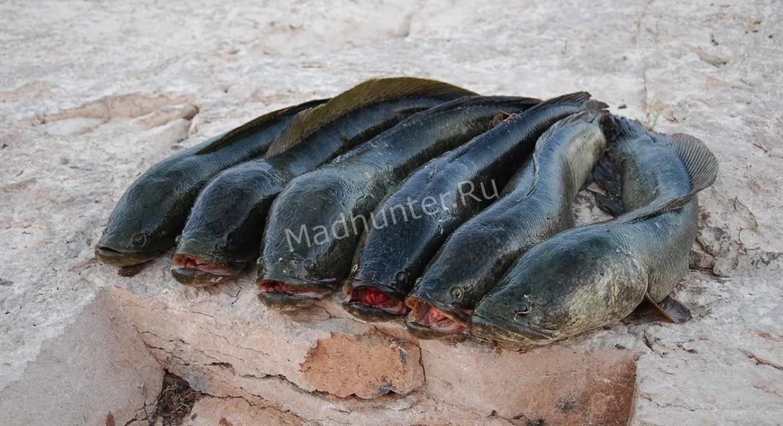 Рыба змееголов