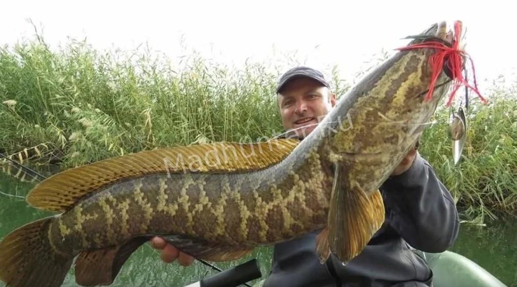 Рыба змееголов улов