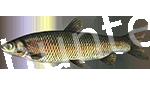 Прогноз клёва рыбы Белый Амур