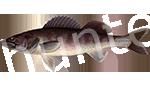 Прогноз клёва рыбы Берш