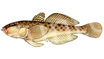 Прогноз клёва рыбы Бычок