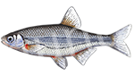 Прогноз клёва рыбы Быстрянка