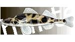 Прогноз клёва рыбы Чоп