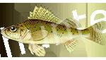Прогноз клёва рыбы Ерш