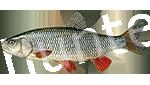 Прогноз клёва рыбы Голавль