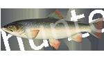 Прогноз клёва рыбы Голец