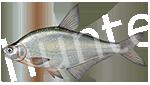 Прогноз клёва рыбы Густера