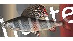 Прогноз клёва рыбы Хариус