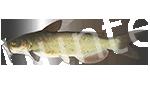 Прогноз клёва рыбы Канальный сомик