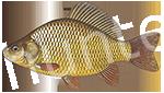 Прогноз клёва рыбы Карась