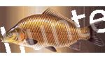 Прогноз клёва рыбы Карп