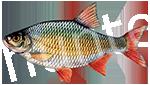 Прогноз клёва рыбы Красноперка