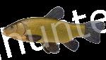 Прогноз клёва рыбы Линь