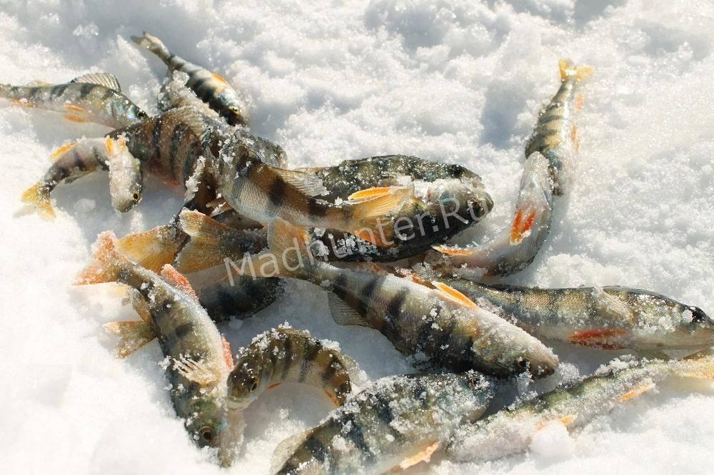 Ловля окуня зимой когда