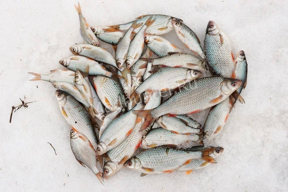 Ловля плотвы зимой рыбные места