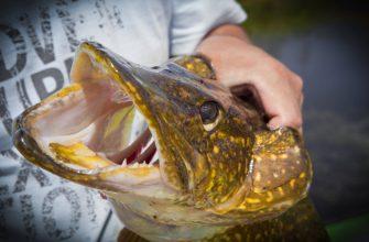 Ловлю щуку осенью - далеко не каждый рыбак знает